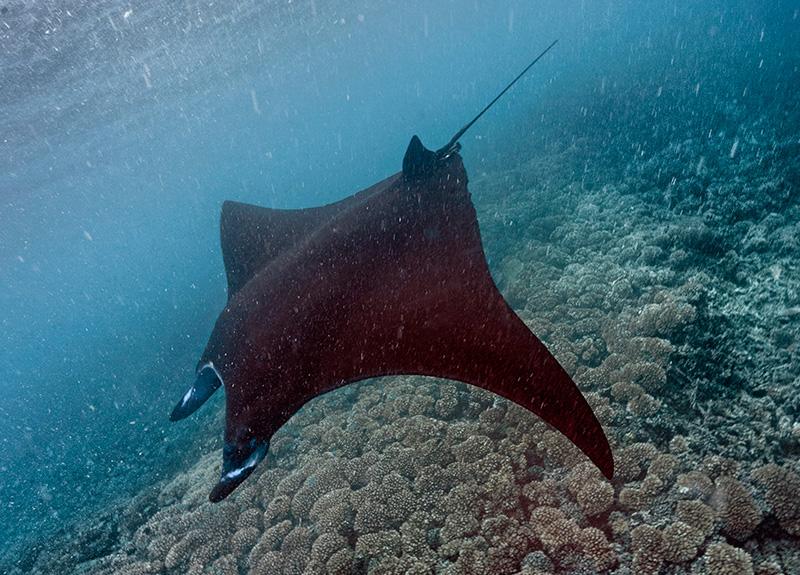 Are manta rays dangerous? | Mantaray Island Resort
