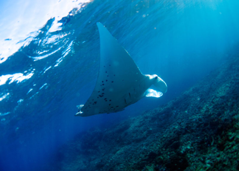 Are manta rays dangerous? | Mantaray Island Resort