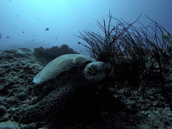 Turtles-in-Fiji-Mantaray-Island-resort