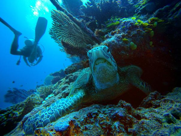 green-turtle-underwater