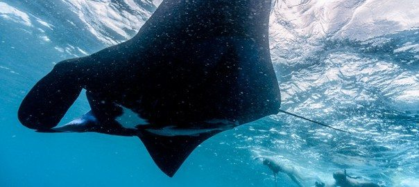 Are Manta Rays Dangerous?