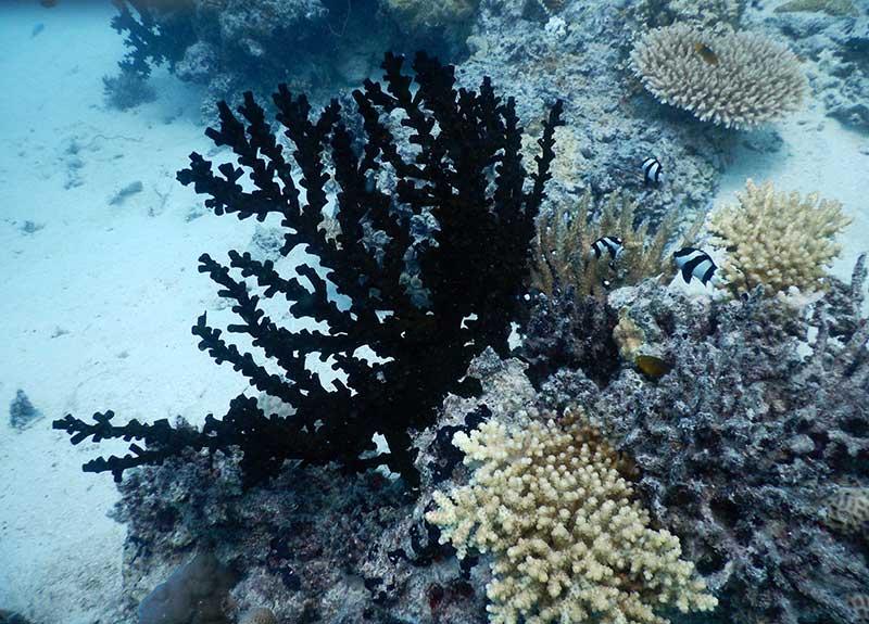 Black Fern Coral Fiji