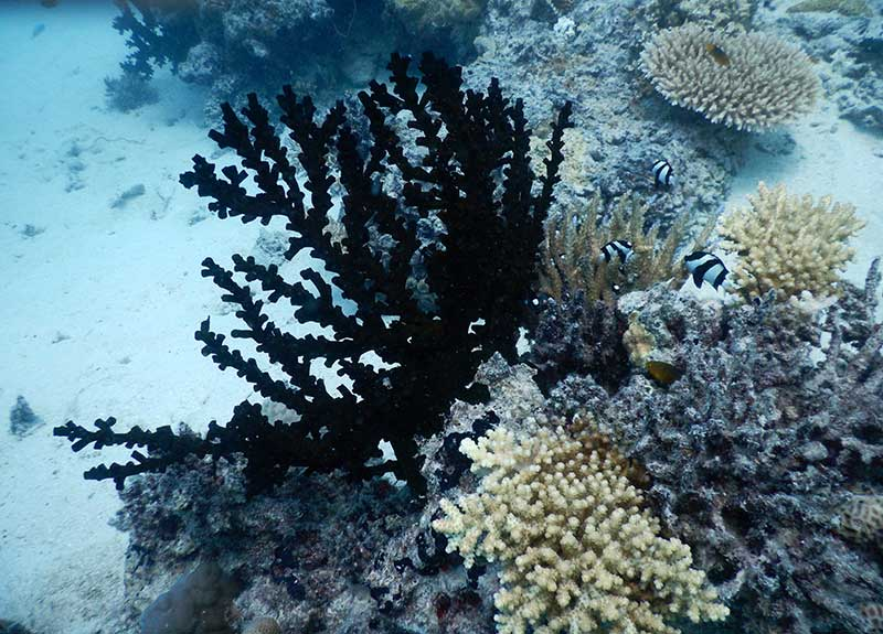 Black-Fern-Coral-in-Fiji-800_575