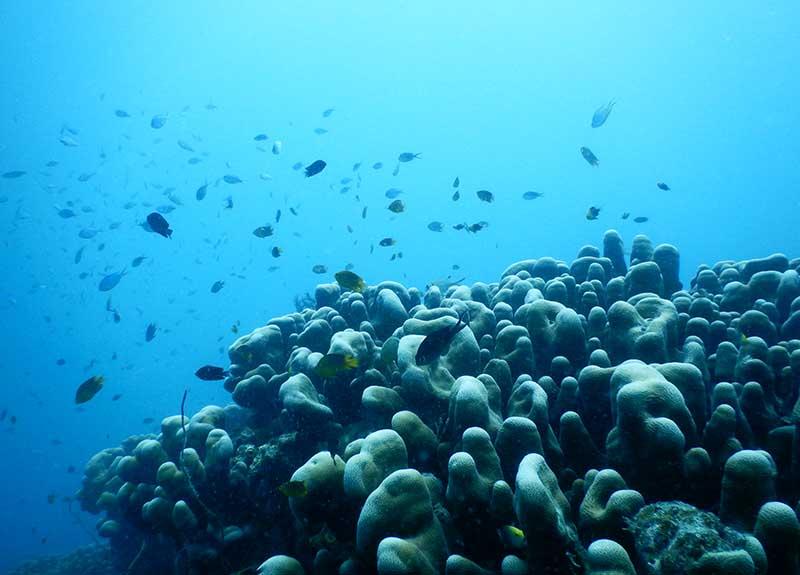 Brain-Coral-in-Fiji-800_575