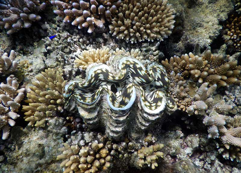 Clam-in-Fiji-800_575