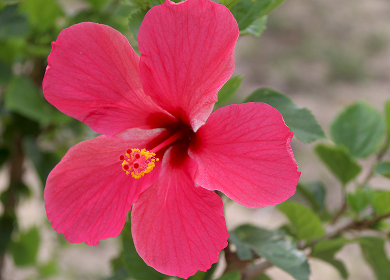 Red-Hibiscus-800_575