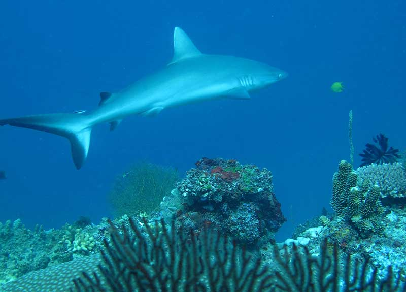 SHARK-DIVE-FIJI-800_575 (3)