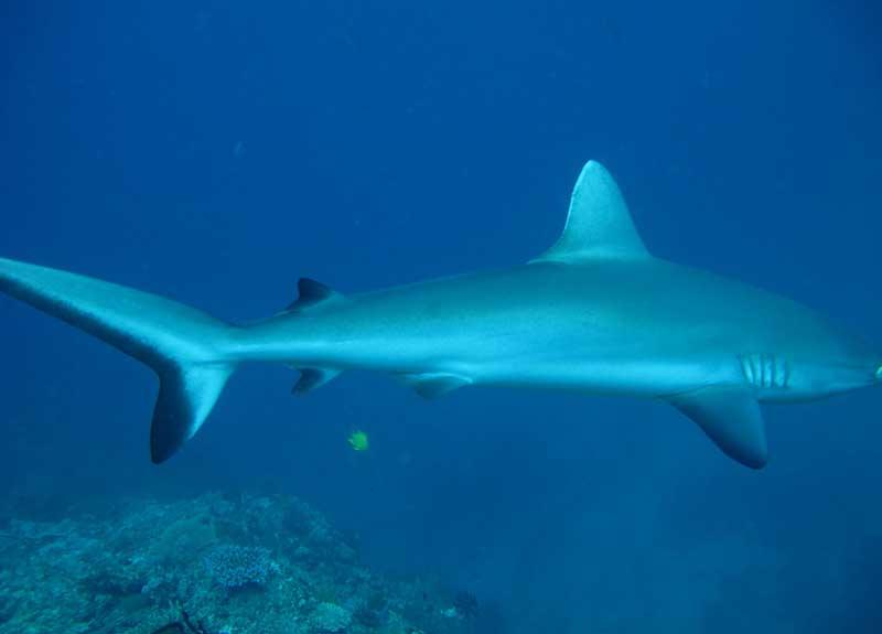 Shark-Fiji-800_575